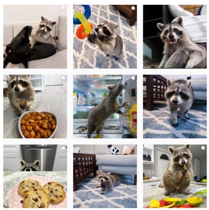 Tito the Raccoon